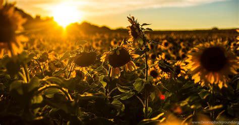 Sunflower Desktop Backgrounds Wallpapers : Nature ...