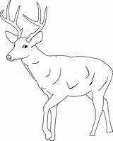 Deer Coloring Printable Antlers Tailed Antler Mule Drawing Stag Template Drawings Buck Cartoon Sketch Templates Animal Getdrawings Getcolorings Coloringme Results sketch template