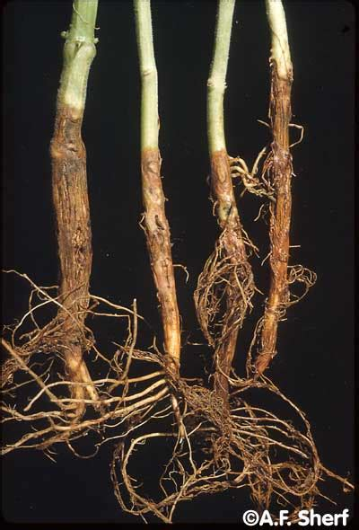 http://vegetablemdonline.ppath.cornell.edu/PhotoPages/Impt_Diseases/Beans/Bean_Dry.htm