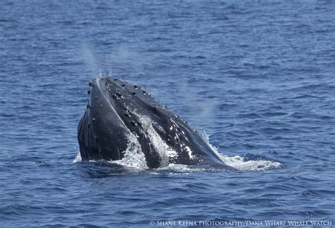 Humpback Whales Spotted Near Dana Point  Dana Point Times