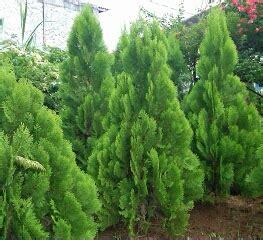 jual pohon cemara berbagai jenis