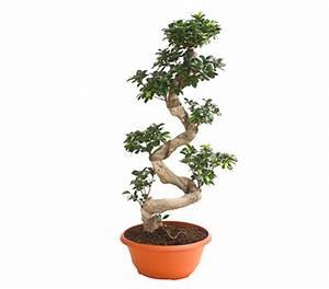 Bonsai Pflege Für Anfänger : birkenfeige 39 ginseng 39 bonsai dehner garten center ~ Frokenaadalensverden.com Haus und Dekorationen