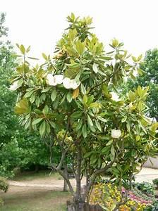 Magnolie Im Topf : magnolienbaum alles was sie dar ber wissen sollten ~ Lizthompson.info Haus und Dekorationen