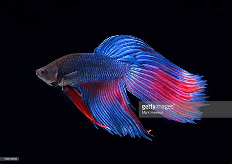siamese fighting fish siamese fighting fish stock photo getty images
