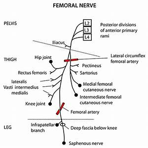 Instant Anatomy - Lower Limb - Nerves