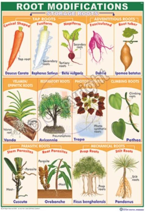 Names Of Modified Roots by Victory Graphik B 14 Fruits Types False And True Fruits