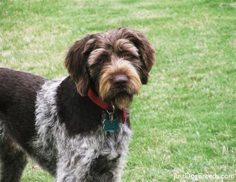 German Wirehaired Pointer Shedding by Large Wirehaired Breeds Breeds Picture