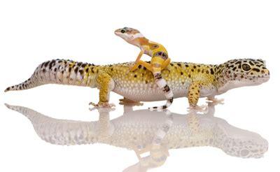 baby leopard geckos eggs
