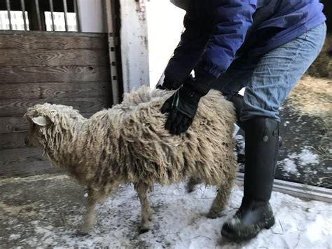 26 Animals Rescued From Middlesex Farm From Bitter Cold