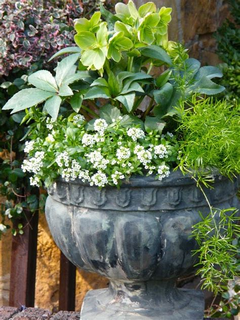 growing hellebores in containers 17 best images about container plants spring summer on pinterest window boxes shrubs and