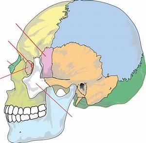 Human Skull Nolables Clip Art At Clker Com
