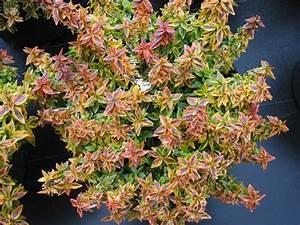 Abelia Grandiflora Kaleidoscope : abelia 39 kaleidoscope 39 landscaping ideas plants abelia ~ Melissatoandfro.com Idées de Décoration
