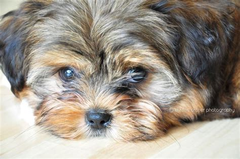 17 Best Images About Puppy Cuts On Pinterest