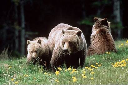 Grizzly Larry Running Bears Grizzlies Wildsight Tooze