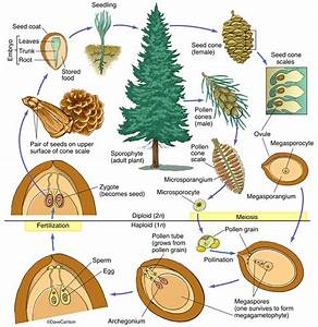 Conifer Structure  U0026 Life Cycle