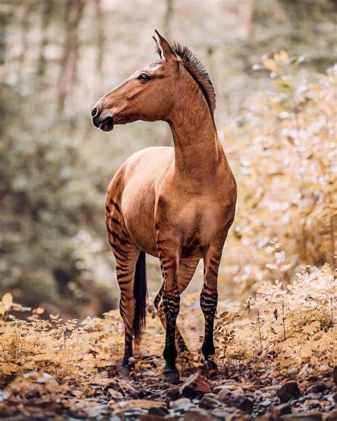 zebra horses stallion