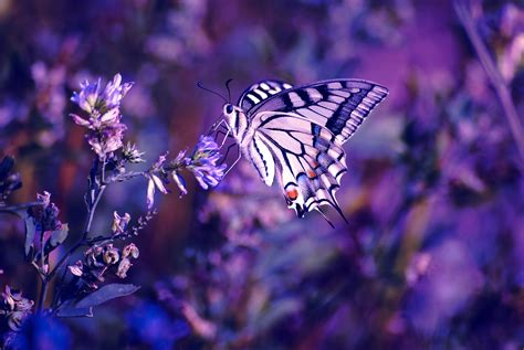 butterfly wallpapers pictures images