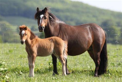 kerry bog pony studbook horse sport ireland