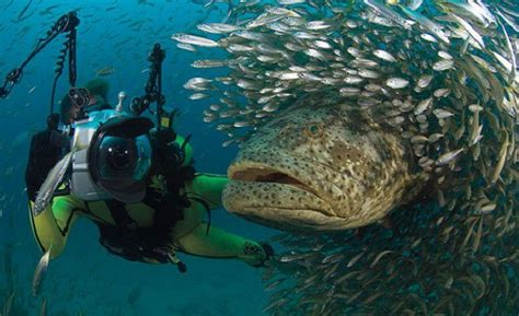 grouper shark goliath eats bite wikipedia sharks florida