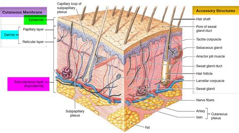 5 Layers Of Epidermis, Outermost Layer & Function