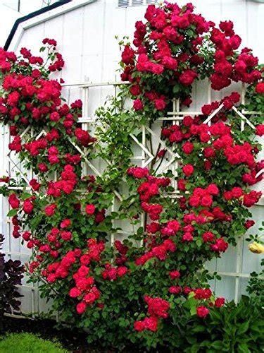 Top 10 Best Climbing Plants With Red Flowers  Best Of