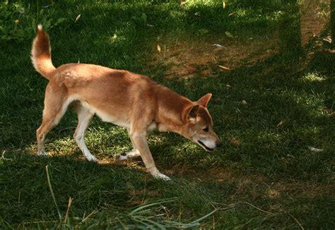 Filenew Guinea Singing Dog On Trail Jpg Wikimedia Commons