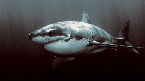 great white shark wallpaper wallpapertag