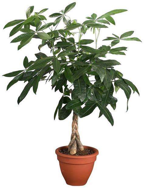 Zimmerpflanze Hoch by Zimmerpflanze 187 Gl 252 Ckskastanie 171 H 246 He 60 Cm 1 Pflanze