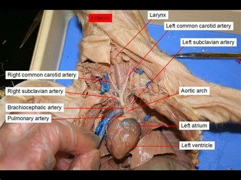 Diagram Fetal Pig Dissection Diagram Labeled