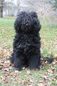 Care & Grooming - Barbet: French Water Dog