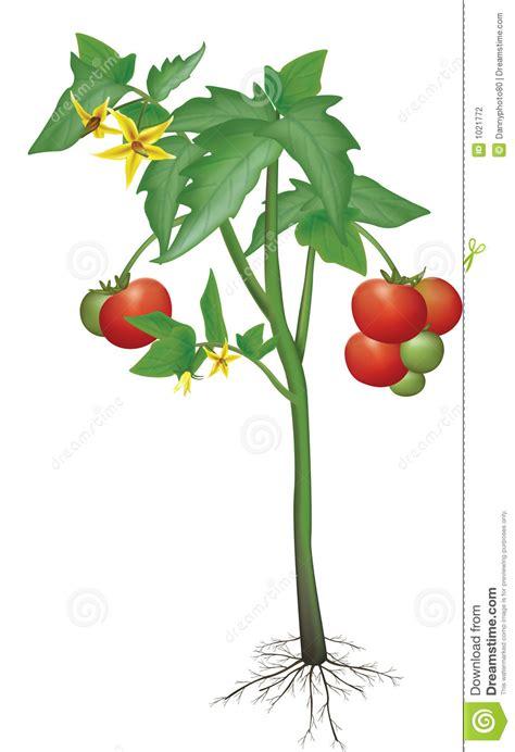 tomatenpflanze stock abbildung illustration von frisch