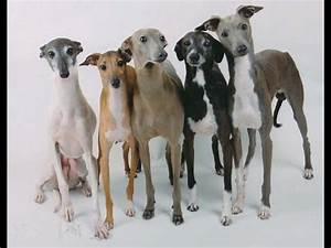 Italian · Greyhound - YouTube