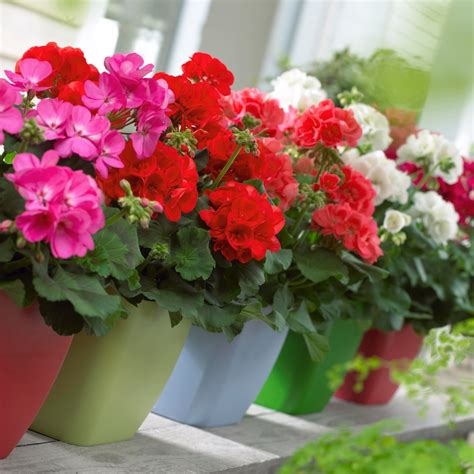 planting geraniums in pots lush fab glam blogazine keep those pesky mosquitoes and bugs away