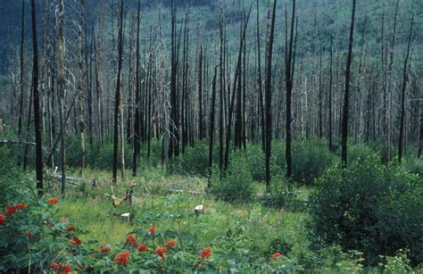 picture regrowth forest fire