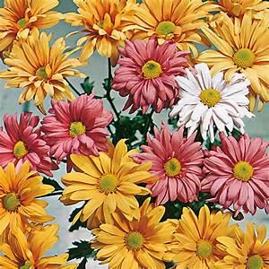 Dendranthema Hybride Balkon : indicum korean hybrids flower seeds from d t brown ~ Lizthompson.info Haus und Dekorationen