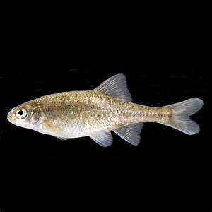 CANARY ROCKFISH | College of Agricultural Sciences ...