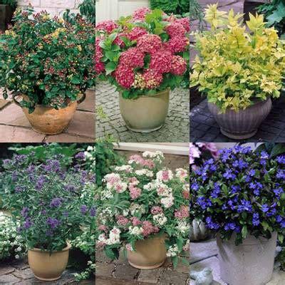 Dwarf Flowering Shrubs  Daily Express
