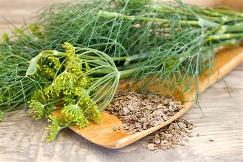 growing dill how to grow dill harvesting dill