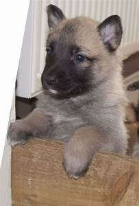 Belgian Malinois Puppy (with KNPV blood lines) | Leicester ...