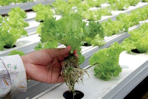 teknik terbaru hidroponik  greenhouse skala