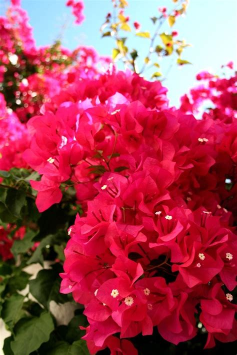 bougainvillea colors best 25 bougainvillea trellis ideas on