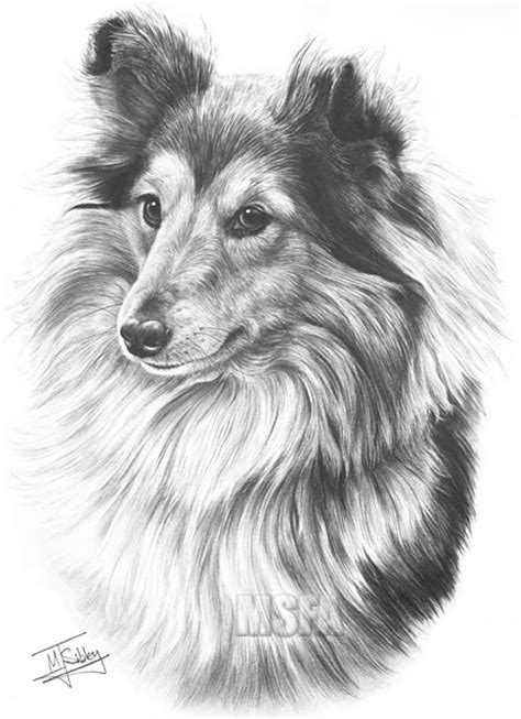 shetland sheepdog fine art dog print  mike sibley
