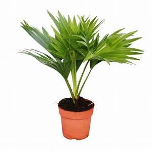 Zimmerpalme Livistona Rotundifola Zimmerpflanze EBay