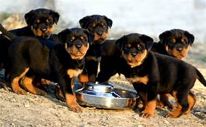 Rottweiler Dog Puppy Wallpaper
