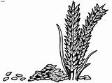 Wheat Rice Clipart Grains Plant Coloring Colouring Pages Drawing Vector Cliparts Outline Grain Clip Designs Flower Corner Library Clipground Fall sketch template