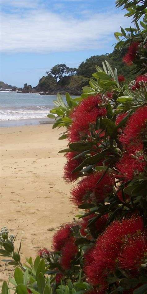 93 best images about pohutukawa new zealand s christmas tree on pinterest trees christmas