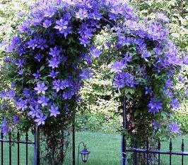 Flowering Climbing Vines with Purple Flower