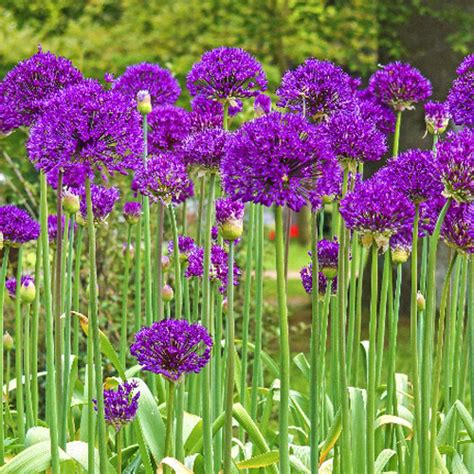 buy purple sensation allium at hill nursery