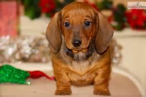 Short Hair Red Dachshund Puppies