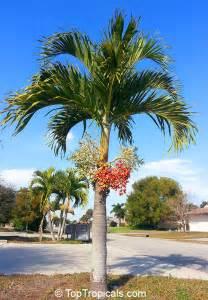 adonidia merrillii veitchia merrilli christmas palm toptropicals com